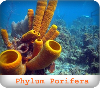 https://sites.google.com/a/srk.ac.th/biologysrk/phylum-porifera