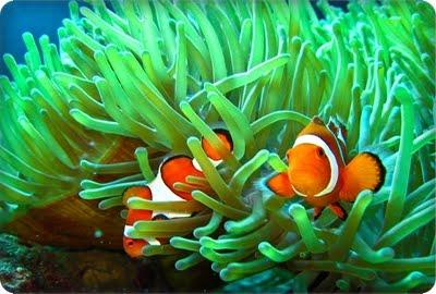 http://cdn.pcwallart.com/images/clownfish-and-sea-anemone-wallpaper-4.jpg